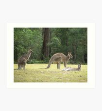 Grey Kangaroos, Arrawarra Art Print