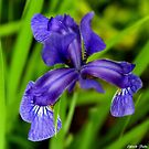 The Iris ! by Elfriede Fulda