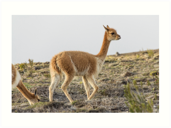 Wild vicuna on mountain hillside by Kendall Anderson