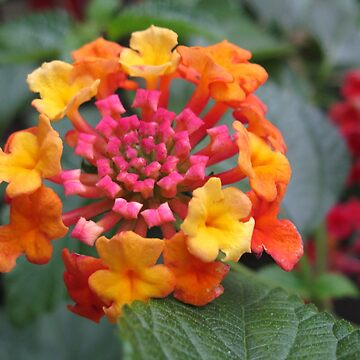 Lovely Lantana by kathrynsgallery