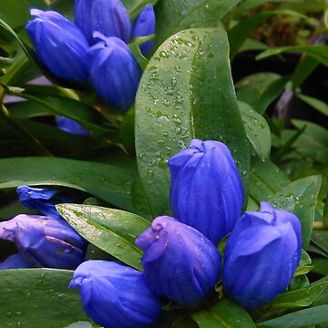 Royal Blue Buds - Closed Gentian by kathrynsgallery