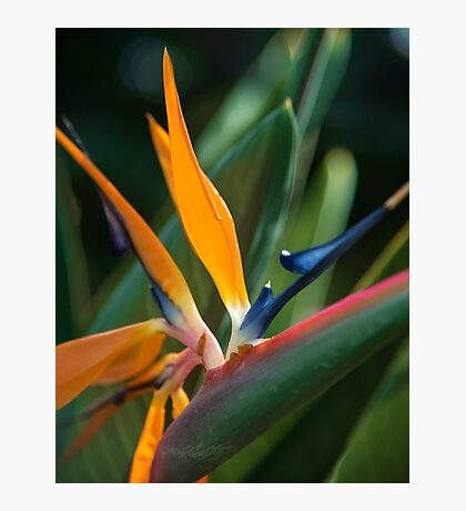 Bird of Paradise Tropical Flower Photo Photographic Print