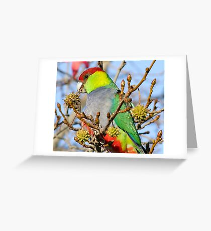 Mr Red Capped Parrot Greeting Card