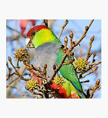 Mr Red Capped Parrot Photographic Print