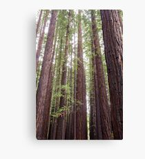 Walk Tall as Trees Canvas Print