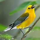 Prothonotary Warbler by Dennis Cheeseman