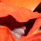 Poppy Series -2 by karenkirkham