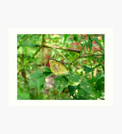 Dogface Butterfly on Pokeweed Art Print