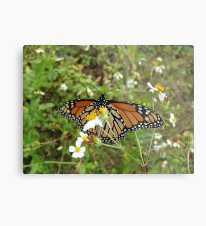 Monarch on Bidens alba Metal Print