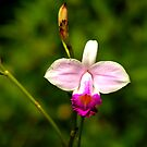 Tropical Orchid by JACONNI