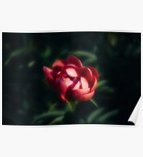 Red peonies in the garden Poster