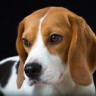 Beagle on the Black by Vitalia