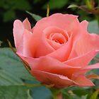 Pink Rose.......Lyme Regis. Dorset UK by lynn carter
