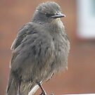 Baby Starling by pat oubridge