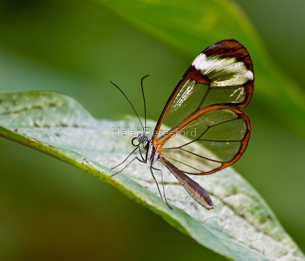 Glass Wings by HelenBeresford
