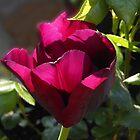 Backlit Red Tulip by SunriseRose