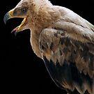 THE TAWNY EAGLE – *Aquila rapax* - True eagles von Magriet Meintjes
