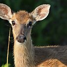yearling deer by cliffordc1
