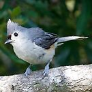 tufted titmouse by Dennis Cheeseman
