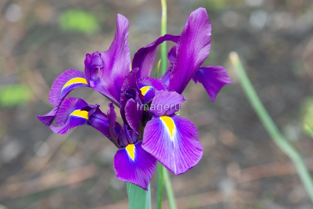 Pittsburgh Purple Lily by Imagery