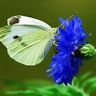 Butterfly on  Chicory  by lorilee