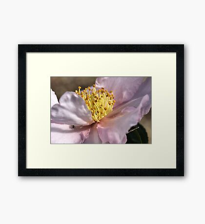 Gold Dust on Camellia Framed Print