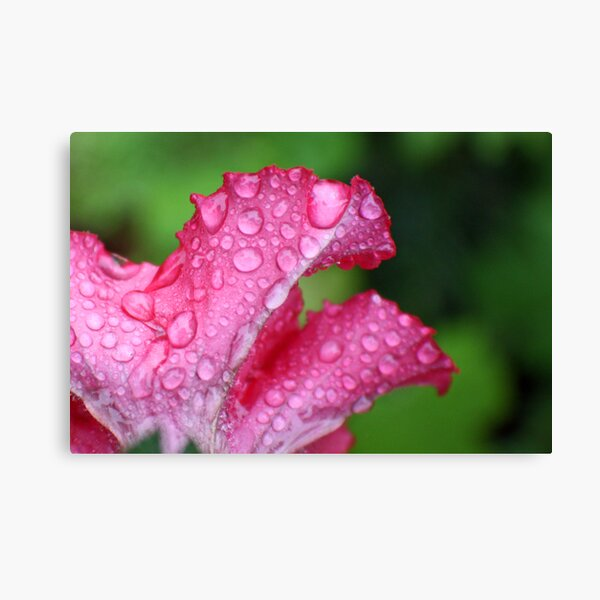 Wet Pink Petunia Canvas Print
