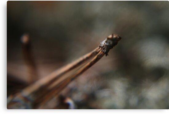 Pine spike by Antanas