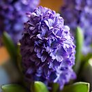 Dutch hyacinth  by natalie angus