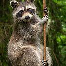 Raccoon Pole Dancer - Wildlife in the Bird Yard by MotherNature2