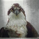Osprey by Tatiacha