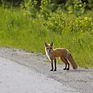 Foxy by lloydsjourney