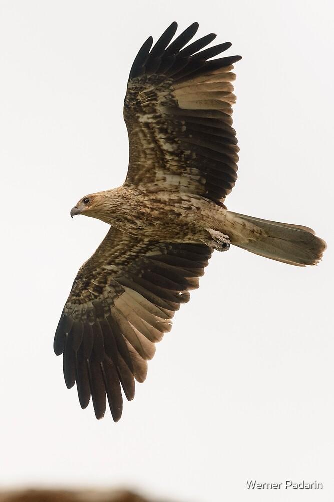 Whistling Kite 06 by Werner Padarin