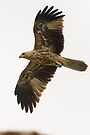 Whistling Kite 06 by Werner Padarin
