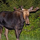 Nightwalker: Bull Moose by lloydsjourney