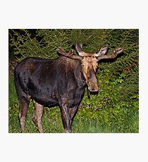 Nightwalker: Bull Moose Photographic Print