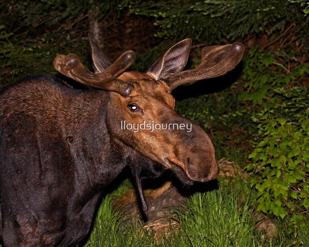 Eyes of the Night: Bull Moose by lloydsjourney