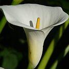 Lily 1 by WhiteDiamond