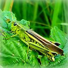 Grasshopper by ©The Creative  Minds