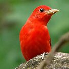 summer tanager by Dennis Cheeseman