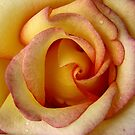 Sunny Hill Rose by David Schroeder
