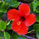 Hawaiin Hibiscus by Kat Miller