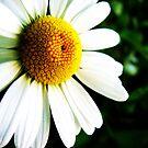 Daisy by MRPhotography