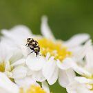Carpet Beetle 2 by Tracy Friesen