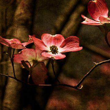 Pink Dogwood by RoseC