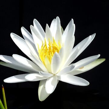 White Water Lilly by Orikall