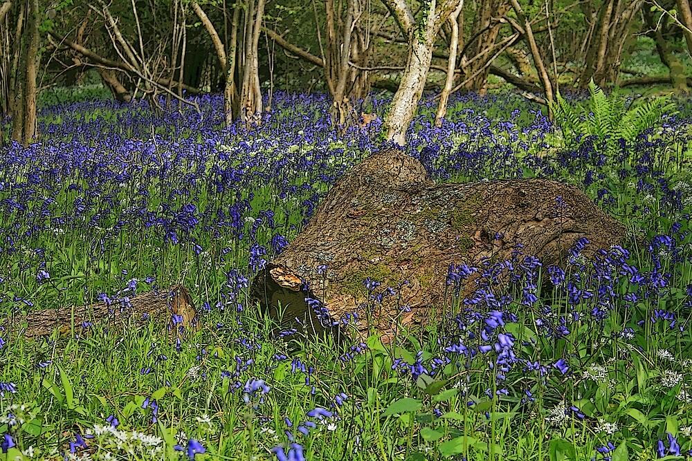 Bluebell Wood by RedHillDigital