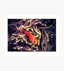 Amphiprion nigripes  Art Print