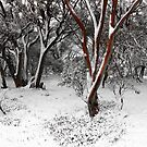 snow gums by Tony Middleton