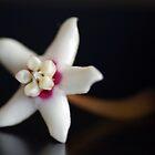 White Hoya Flower by rom01